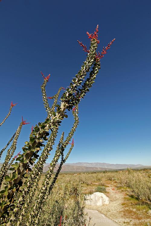 ocotillo of anza-borrego desert