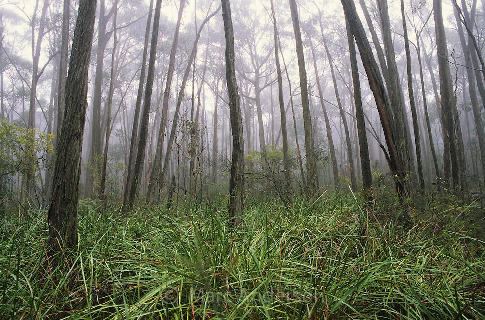 Αποτέλεσμα εικόνας για Eucalyptus of Australia