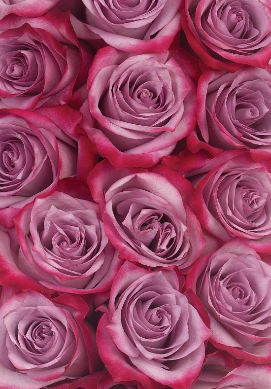 deep purple roses