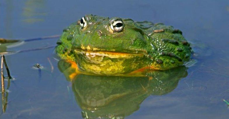 Giant Bullfrogs