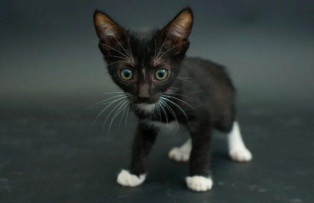 Generalmente las zonas blancas en los gatitos suelen ser las patas