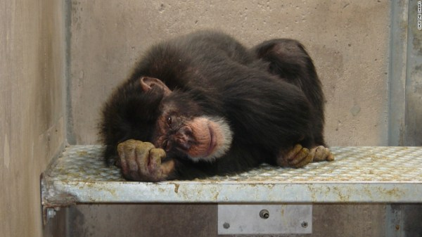 Laboratory chimps get a new lease on life CNN