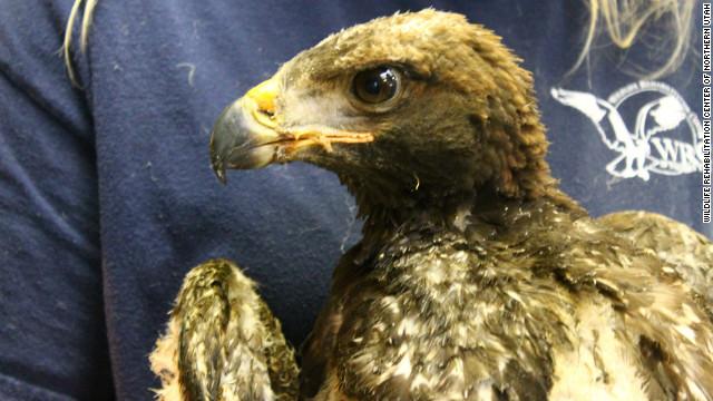 baby golden eagle survives