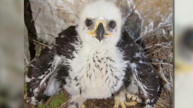 baby eagle phoenix survives