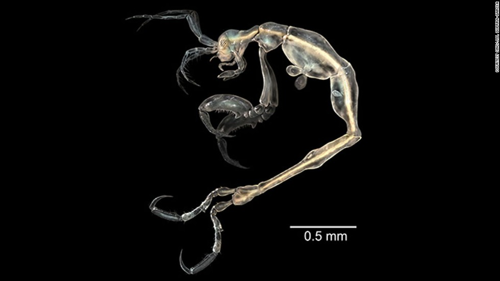 Translucent and tiny, the skeleton shrimp (or Liropus minusculus) was discovered in a cave on Santa Catalina, an island off the coast of Southern California.