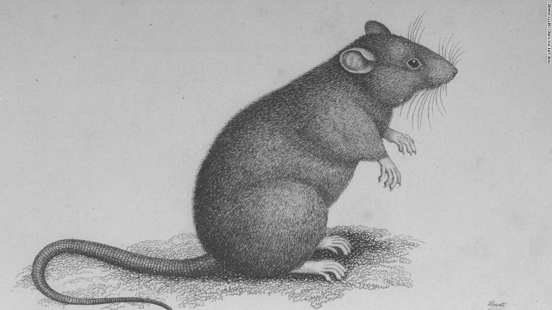 Black Death spread by humans, vindicating rats - CNN