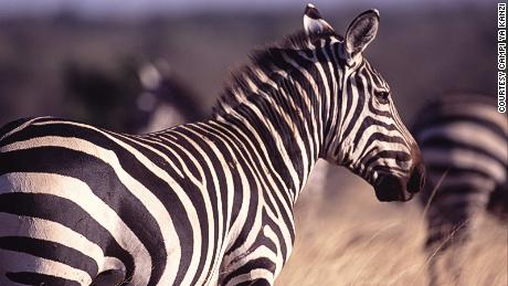 Just for comparision, this is a zebra.