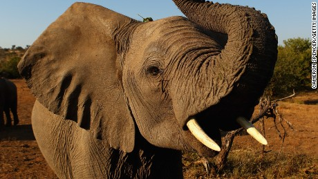 Botswana has 'significant elephant-poaching problem,' conservation group says