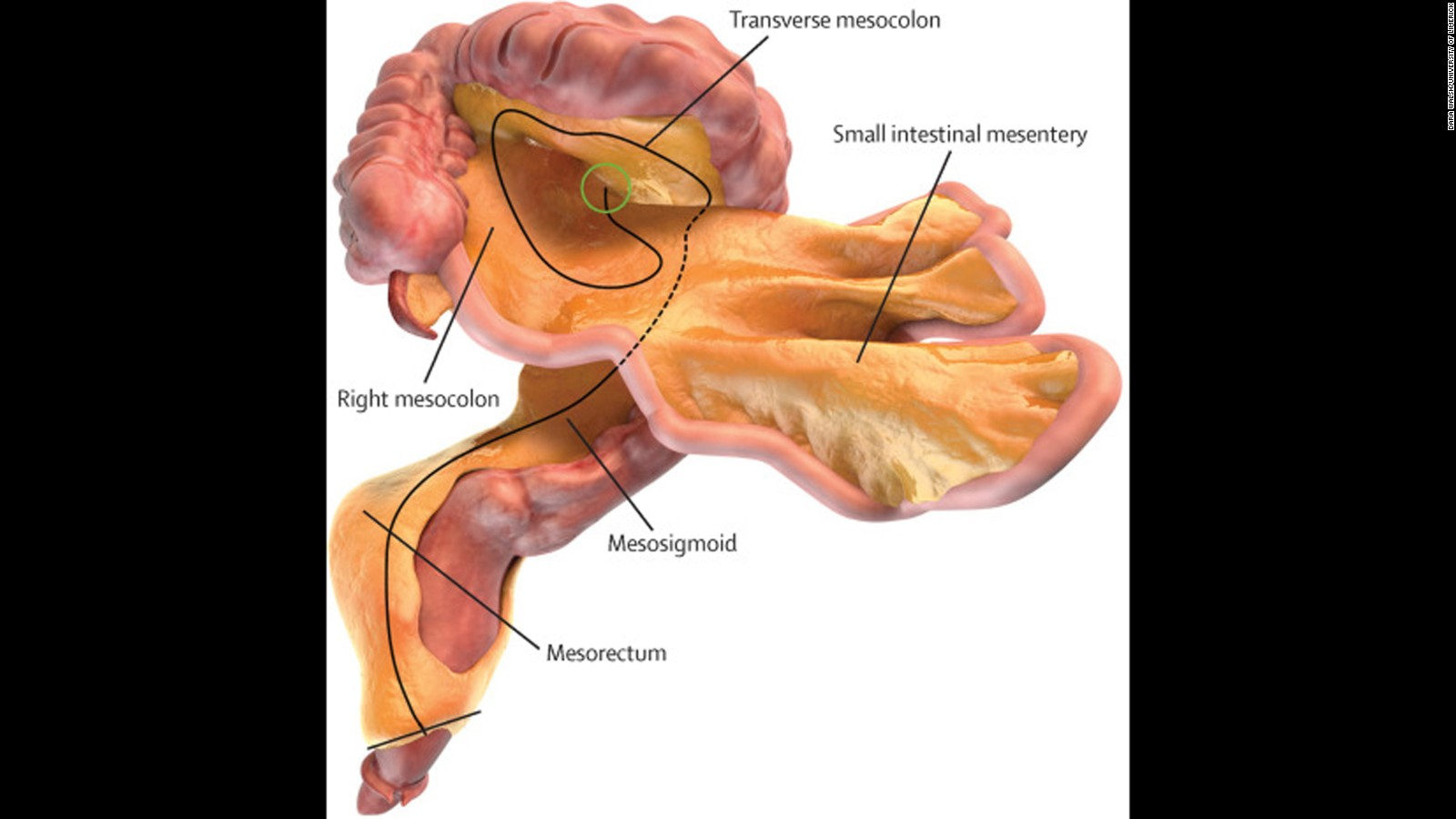hight resolution of the mesentery a new organ you didn t know you had