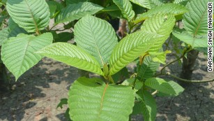 In Malaysia, kratom leaves are traditionally crushed and made into a tea.