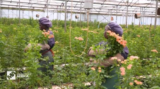 Red Lands Roses - potential to export 30 percent to China.