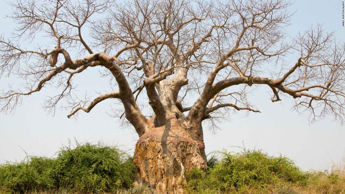 baobab tree deaths linked