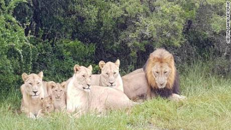 Lions kill suspected rhino poachers who sneaked onto South African game reserve