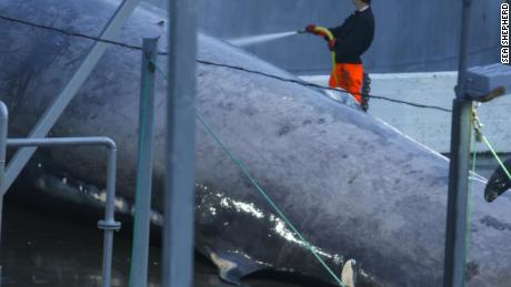 A member of the crew hoses down the whale. The hooked dorsal fin is characteristic of blue whales.