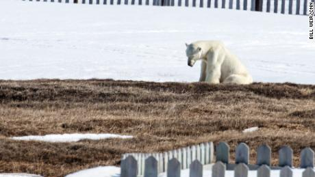 A polar bear that has been coming to the outskirts of Kaktovik in search of food.