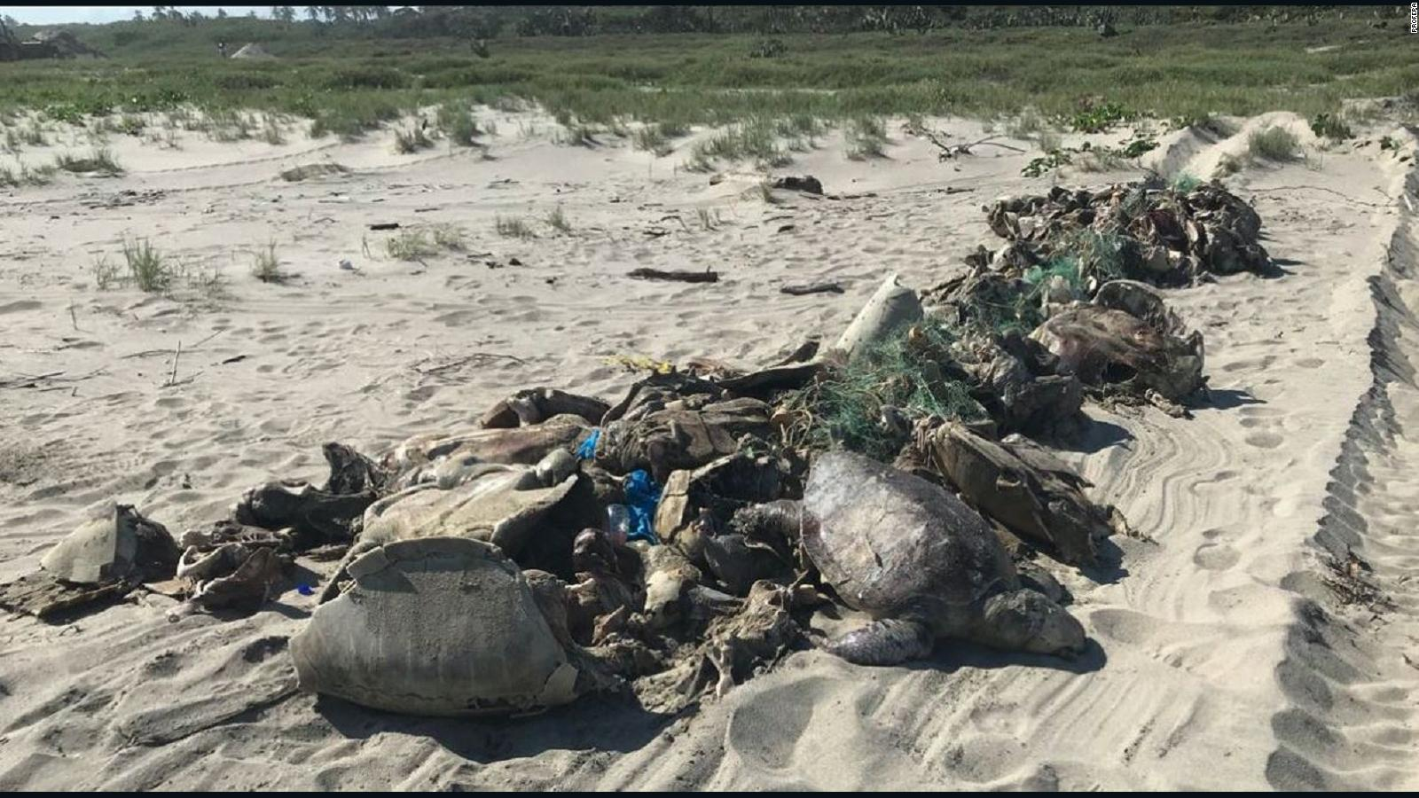Image result for More Than 300 Endangered Turtles Found Dead In Discarded Fishing Net