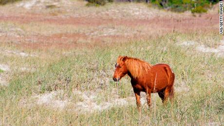 Wild horses lean on instinct to survive Hurricane Florence in North Carolina