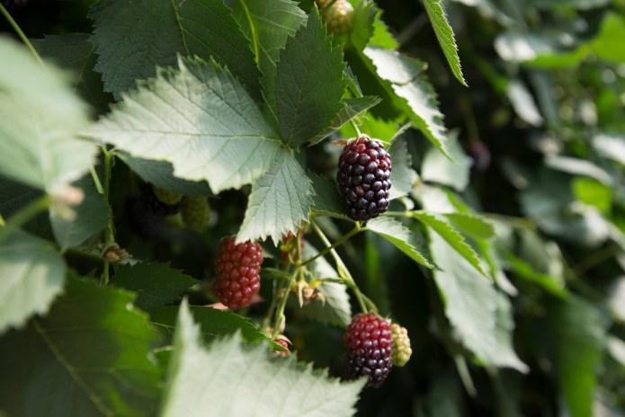 Blackberries ripen in a polytunnel.