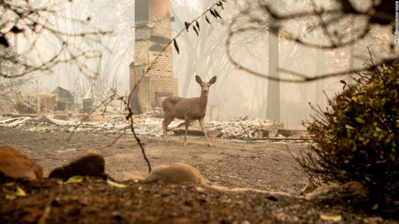 A deer looks on from a burned residence in Paradise on November 10.