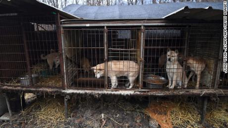 Dogs seen in cages at a  farm during a rescue event, involving the closure of the farm organised by the Humane Society International (HSI) in Namyangju on the outskirts of Seoul.