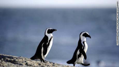 Penguins' speech patterns are similar to those of humans, a new study finds
