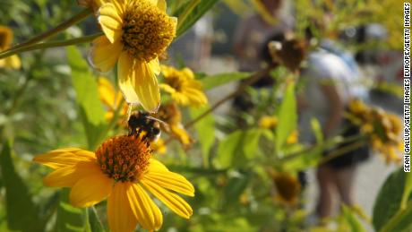 A bumblebee lands on a flower as workers from the Federation for Nature Protection German inspect an urban garden in Berlin, Germany.