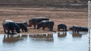 A long-disputed hippo cull will begin in May in Zambia, officials say