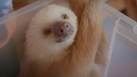 Shhhh! The sloth is sleeping!