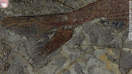 A 66-million-year-old fish fossil uncovered by paleontologists from the University of Kansas and University of Manchester