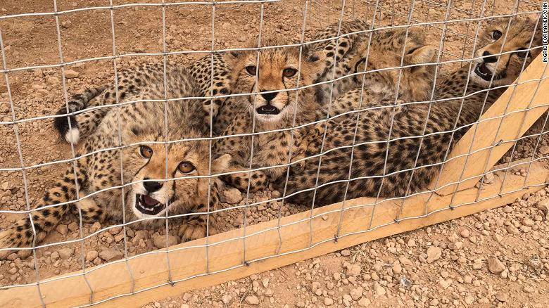Three rescued cheetahs at CCF's safehouse. Around 300 cubs are smuggled out of Somaliland every year.
