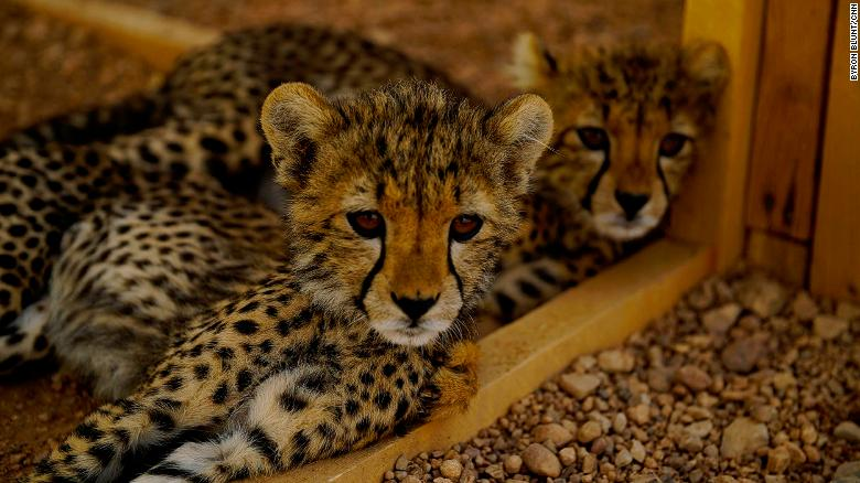 """Two of 32 rescued cheetahs currently at CCF's safehouse in Hargeisa. The cats get fed fresh camel meat twice a day, with a sprinkling of """"Predator Powder"""" to give them nutrients they would only get in the wild."""