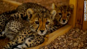 cheetahs are being bought