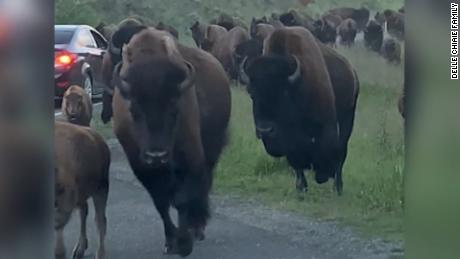 bison stampede straight into