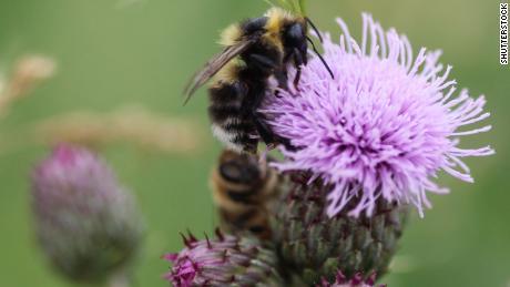 Bombus sylvarum, stridulo cardatore di api o di fiordaliso cardatore bee, raccogliendo il nettare da un fiore.