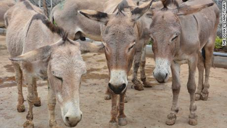 Donkey population decimated by Chinese medicine demand