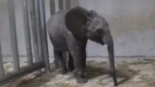 Young elephants were taken from their mothers in Zimbabwe. Now they're in cages in China