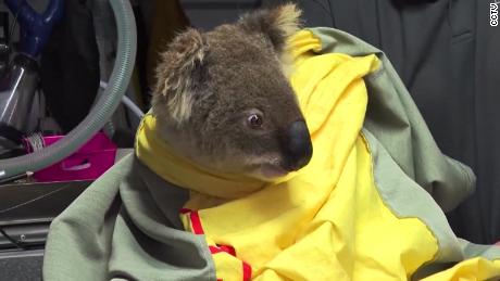 The koala population has been hit by the devastating fires.