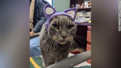 A stray cat without ears has a new set of purple ones