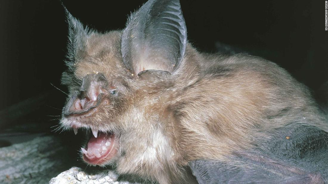 Bats, the source of so many viruses, could be the origin of Wuhan ...