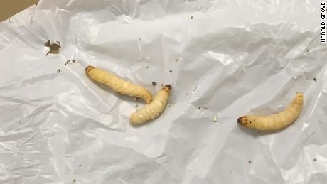 These plastic-chomping caterpillars can help fight pollution