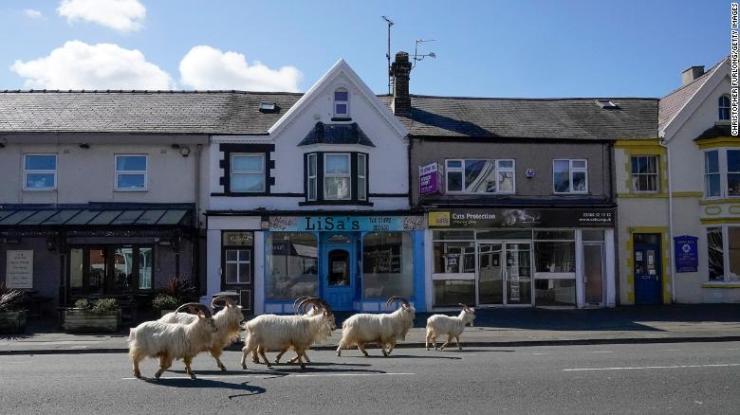 Mountain goats roam the streets of LLandudno, Wales, on March 31, 2020.