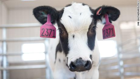 Human trials for cow-blood covid-19 treatment are expected to begin next month.