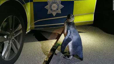 Police pick up penguin found waddling along rural English road
