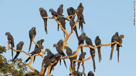 นกมาคอว์สีน้ำเงินเกาะอยู่บนต้นไม้ในเขตรักษาพันธุ์São Francisco do Perigara ก่อนที่จะเกิดเพลิงไหม้