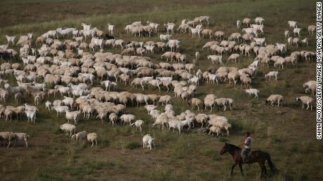 A herdsman pastures sheep on August 8, 2006 in Xilinhot of Inner Mongolia Autonomous Region, China.