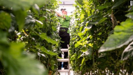 Ty Warner, a vertical harvest employee, is tasked with selecting and pruning hundreds of indoor farm plants.