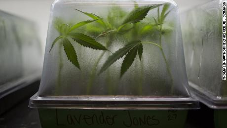 The marijuana plant sits on February 7, 2018 at the Harvest Grow operation in Camp Verde, Arizona.  Harvest is one of the largest cannabis companies in the United States and a major financial contributor to efforts to legalize recreational cannabis in Arizona.