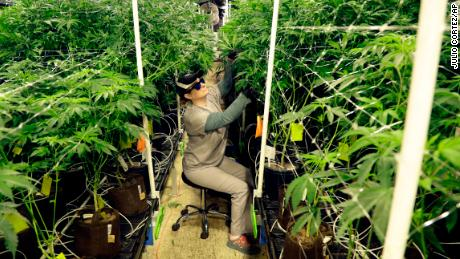 In this Friday, March 22, 2019 photo, Heather Randazzo, a grow employee at Compassionate Care Foundation's medical marijuana dispensary, trims leaves off marijuana plants in the company's grow house in Egg Harbor Township, New Jersey. A ballot initiative to legalize recreational cannabis is going before New Jersey voters this November.  (AP Photo/Julio Cortez)