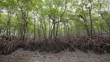 ป่าโกงกางที่เติบโตทางตอนใต้ของเกาะ Boipeba ของบราซิลมีระบบรากที่กว้างขวาง