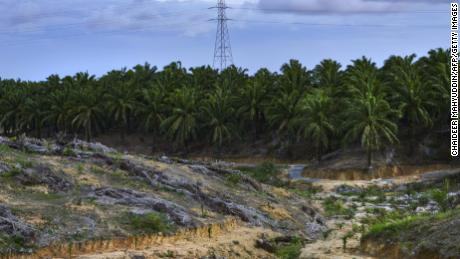 This picture taken on August 16, 2019 shows a palm oil fruit plantation in the Nagan Raya district in Indonesia's Aceh province.